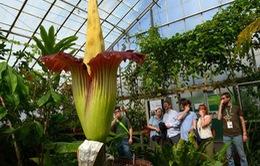 Du khách đổ xô đến ngắm hoa xác thối nở tại Mỹ