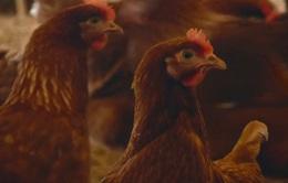 """Ánh sáng công nghệ cao """"giảm căng thẳng cho gà"""""""