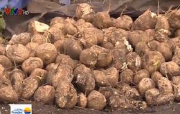 Bình Phước: Không bán được, hàng trăm tấn củ đậu bị đổ bỏ