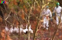 Cúm gia cầm đe dọa ngành chăn nuôi Đan Mạch