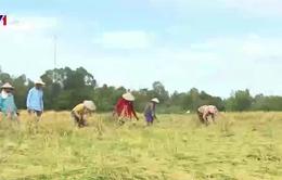 Nông dân Đồng Tháp khẩn trương cứu lúa bị ngập úng