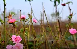 Đào Nhật Tân bắt đầu được bán ra thị trường