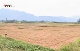 Bình Định: Hơn 4.000ha đất lúa bị bỏ hoang vì nắng nóng