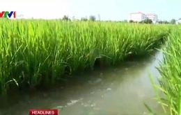 Đê bao chống mặn giúp cây trồng sống khỏe giai đoạn hạn mặn