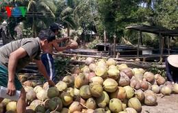 Người dân gom 30 tấn dừa giúp lái xe container bị lật