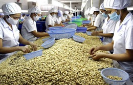 Ngành điều Việt Nam phải nhập hơn 50% nguyên liệu để chế biến