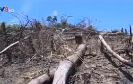 Buông lỏng quản lý, rừng phòng hộ biến thành rừng sản xuất