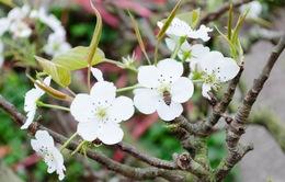 Ngắm hoa lê trắng tinh khôi giữa lòng Hà Nội