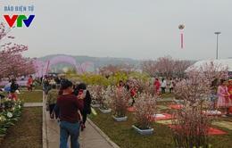 Rực rỡ hoa anh đào, mai vàng Yên Tử tại Hạ Long