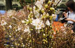 Bí mật trang trí 1 vạn cành hoa anh đào ở Tượng đài Lý Thái Tổ