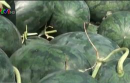 Gia Lai: Giá dưa hấu giảm còn 200 - 300 đồng/kg