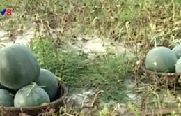 Quảng Trị: Thu nhập cao nhờ trồng dưa hấu trên cát
