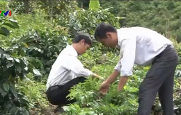 Kon Tum: Hộ dân tộc thiểu số trồng cây dược liệu xóa đói giảm nghèo