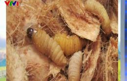 Nuôi đuông dừa ồ ạt đe dọa nghề trồng dừa Bến Tre