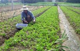 Phú Yên: Rau VietGap ế vì giá cao, không có nhãn mác
