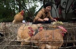 Hong Kong dừng mua bán gia cầm sống vì phát hiện virus H7N9