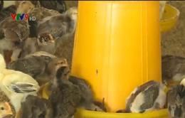 Tiền Giang đẩy mạnh liên kết chăn nuôi, tiêu thụ gia cầm sạch