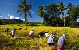 Thái Lan soạn thảo chiến lược mới về lúa gạo