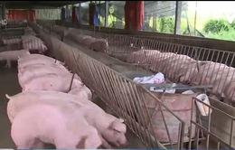 Lợn nhiễm chất cấm không xuất phát từ hộ nuôi Viet Gap