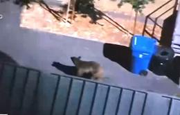 Mỹ: Gấu lớn chạy quanh khu dân cư
