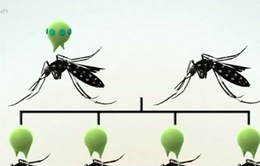 Mỹ dùng muỗi biến đổi gen chống virus Zika