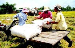 ĐBSCL: Giá lúa Đông Xuân tăng cao