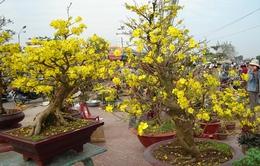 Giá mai Tết tại Bình Định đắt gấp đôi năm 2015