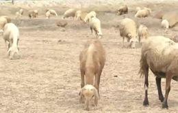 Di dời đàn gia súc mùa nắng hạn