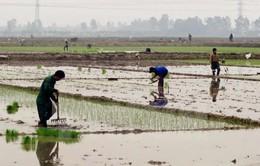 Sẽ có 3 đợt lấy nước gieo cấy vụ Đông Xuân 2016-2017