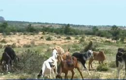Ninh Thuận hỗ trợ đàn gia súc bị ảnh hưởng do nắng hạn