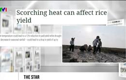 Malaysia: Sản lượng gạo sụt giảm vì El Nino