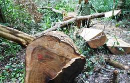 Khởi tố đối tượng chủ mưu vụ phá rừng ở Bình Định