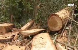 Tuyên Quang: Phát hiện, xử lý ô tô tải vận chuyển trái phép 1,5 tấn gỗ Pơ mu