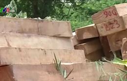 Cận cảnh rừng pơ mu quý hiếm bị triệt hạ tại Quảng Nam
