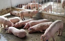 Hà Tĩnh bùng phát dịch lợn tai xanh