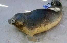 Hải cẩu lần đầu tiên xuất hiện ở vùng biển Bình Thuận