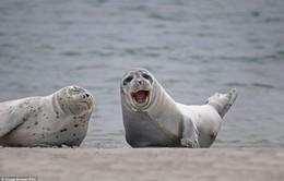 Hải cẩu xám xuất hiện tại vùng biển Bình Thuận