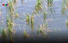 Lũ muộn, Kiên Giang mất trên 400.000 ha lúa