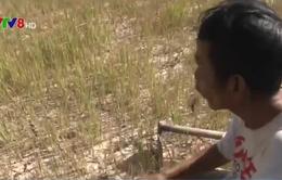 Chính phủ hỗ trợ 485 tỷ đồng khắc phục hạn hán và xâm nhập mặn
