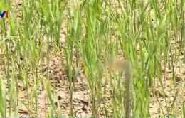 Bạc Liêu áp dụng nhiều chính sách tín dụng hỗ trợ nông dân vùng hạn mặn