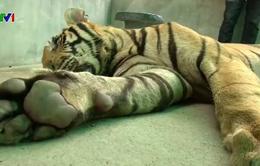 Thái Lan: Chủ cơ sở phải đăng ký động vật hoang dã nuôi nhốt