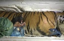 Hà Tĩnh: Giao nộp cá thể hổ 170kg