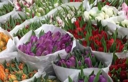 Hoa Tulip bán chạy nhất tại Nga dịp 8/3