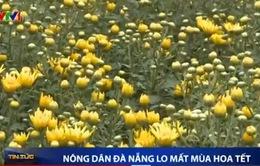 Nông dân Đà Nẵng lo mất mùa hoa Tết
