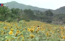 Đồi hoa hướng dương - Sản phẩm du lịch khác biệt tại Khánh Hòa
