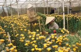 Giá hoa Đà Lạt tăng mạnh