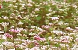 Vẻ đẹp bất tận của hoa tam giác mạch