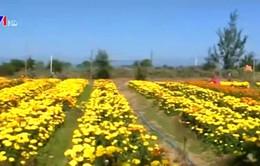 Hoa vạn thọ - Giữ cho phong vị ngày Tết đậm hồn quê
