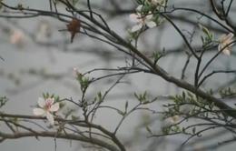 Hoa ban - Sắc trắng tinh khôi nơi núi rừng Tây Bắc