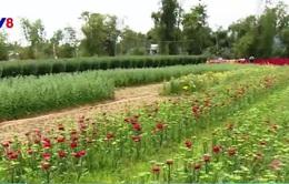 Người trồng hoa Đà Nẵng chưa được hưởng lợi từ đường hoa Xuân